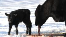 Angus Cow Eating Afterbirth, Calf Walking Nearby