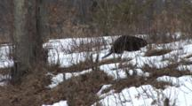 American Beaver Walking Up Hill From Pond To Harvest Small Trees For Food