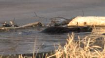American Beaver Circling In Ice Opening In Pond, Slaps Tail, Dives