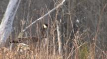 Canada Goose Hiding In Brush , Turns To Leave