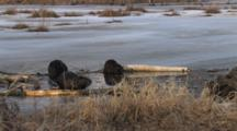 Frozen Pond In Spring, Three American Beavers Feeding At Ice Opening On Edge