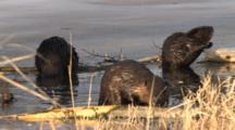 American Beavers In Spring Pond, Front Beaver Chews Log, Back Beaver Sniffs For Danger