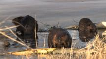 American Beavers In Spring Pond, Front Beaver Works Over Log, Stops, Listens, Chews