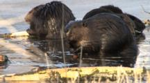 Four American Beaver In Spring Pond, Feeding, One Raises Up, Sniffs Air