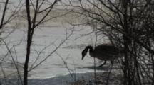 Canada Goose Standing On Pond, Walks, Falls Through Ice, Fluffs Feathers