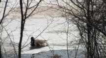 Canada Goose Standing On Pond, Walks, Struggles, Falls Through Ice, Drinks