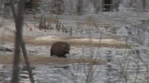 Muskrat Feeding On Roots, Stops, Listens For Danger, Continues Feeding, Stops, Listens Again