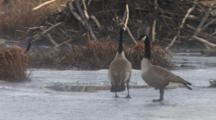 Canada Geese Standing On Ice In Beaver Pond, Alert, Protective Of Nest Site, Noisy, One Flaps Wings