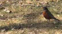 American Robin, Runs Off Frame