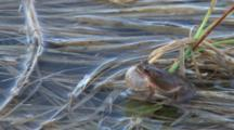 Tree Frog,  Northern Spring Peeper, Steadily Calling From Wetland
