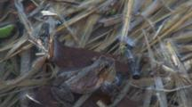 Spring Peepers, Frogs Courting, Crawls To Lower Corner Of Frame , Calling For Mates In Spring Pond