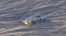 Wood Frog Lying Along Pond Reeds In Shallow Water
