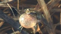 Northern Spring Peeper, Croaking, Peeping, Calling For Mates In Spring Pond