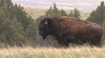 American Bison, Standing On Hill Overlooking Badlands, South Dakota