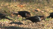 Brown-Headed Cowbirds, Males Feeding On Ground
