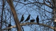 Brown-Headed Cowbirds, Males Posturing For Female