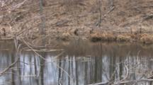 Early Spring Pond, Canada Goose In Bg Lying Along Water Surface, Incognito