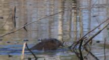 Swimming Muskrat, Enters From Left, Peels, Eats, Emergent  Vegetation,