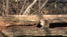 Eastern Chipmunk On Log, Looking Around, Cautious