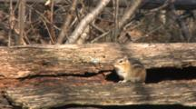 Eastern Chipmunk On Tree, Scared, Dives Into Hole