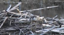 Canada Goose On Nest On Beaver Lodge, Keeping Low Profile, Hiding From Intruder