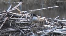 Canada Goose On Nest On Beaver Lodge, Looking For Material To Add To Nest