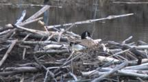 Nest Building, Canada Goose Delicately Selecting Twigs, Placing Beneath