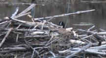 Canada Goose On Nest On Beaver Lodge, Small Fish Rises, Makes Rings In Pond