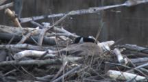 Canada Goose Hiding, Guarding Nest On Beaver Lodge