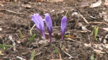 Crocus Flowers Opening In Spring