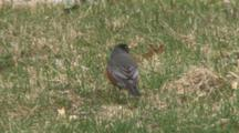 American Robin, Listening For Earthworm, Moves Off