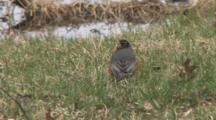 American Robin, Resting On Grass, Looking Around