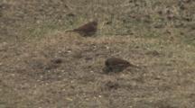 Fox Sparrows Feeding, One Gets Seed, Runs Off Frame