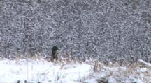 Mallard Duck Standing In Snow On Bank Of Pond