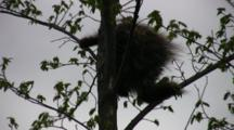 North American Porcupine In Tree, Moving About