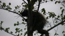 North American Porcupine In Tree, Trying To Turn Around