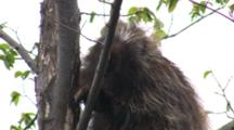 North American Porcupine In Tree, Climbing Down, Looks At Camera