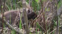 North American Porcupine On Ground, Near Tree, Exits