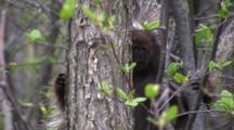 North American Porcupine Hiding Behind Tree