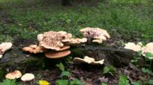 Large Group Of Polypore Squamosus Mushrooms On Stump