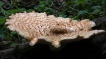 Polypore Squamosus Mushroom On Stump, Top View, Water In Well Of Cap