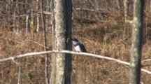 Belted Kingfisher On Branch, Beating, Killing, Swallowing Small Fish, Then Shaking, Fluffling