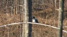 Belted Kingfisher On Branch, Wiping Beak On Branch After Eating