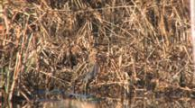 Wilson's Snipe, Standing Camouflaged Among Water Reeds In Pond
