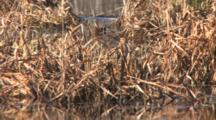 Two  Wilson's Snipe Feeding, Camouflaged Among Water Reeds In Pond