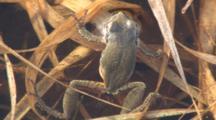 Eastern Gray Treefrog Floating In Water