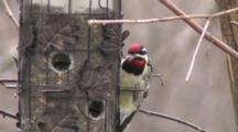 Yellow-Bellied Sapsucker Hanging On Feeder, Picky, Throwing Out Sunflower Seeds