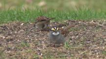 White Throated Sparrows, Male And Female, Feeding On Ground