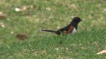 Eastern Towhee Feeding On Ground