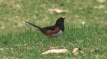 Eastern Towhee On Ground, Watching Sky, Alarmed